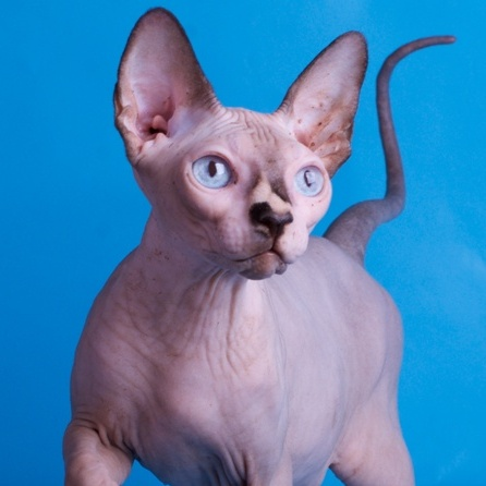 canadian sphinx kitten for sale